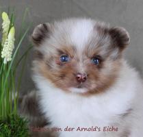 Foto 69 Pomeranianwelpen  bluemerle