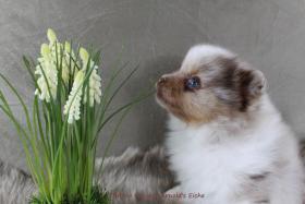 Foto 70 Pomeranianwelpen  bluemerle