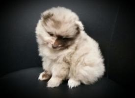 Foto 71 Pomeranianwelpen  bluemerle