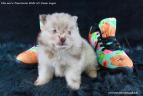Foto 73 Pomeranianwelpen  bluemerle