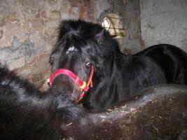 Foto 6 Ponyhengst sucht Weideplatz