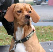 Foto 3 Portugiesischer Vorstehhund