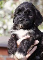 Foto 3 Portugiesischer Wasserhund mit Papiere zu verkaufen