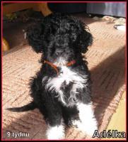 Foto 4 Portugiesischer wasserhund - Wurfankündigung 2016