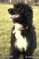 Foto 6 Portugiesischer wasserhund - Wurfankündigung 2016