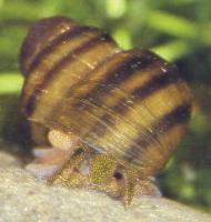 Foto 2 Posthornschnecken-Sumpfdeckelschnecken-Spitzhornschnecken zu verk.