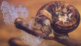 Foto 3 Posthornschnecken-Sumpfdeckelschnecken-Spitzhornschnecken zu verk.