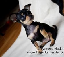Foto 4 Prager Rattler Hündin mit 9 Wochen sucht neues Zuhause!