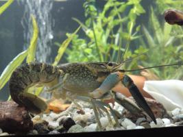 Procambarus Krebs