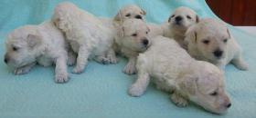 Foto 3 Puli weiß Hundewelpen