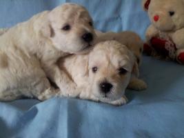 Foto 5 Puli weiß Hundewelpen