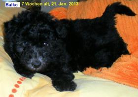 Foto 5 Pumi Welpen, geb. 2. Dez. 2012 Abgabe der Welpen ab 3. Feb. 2013