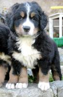 Foto 2 Puppies Bernese Mountain Dog