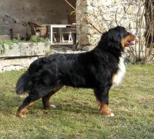 Foto 3 Puppies Bernese Mountain Dog