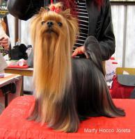 Foto 5 Puppies Yorkshire Terrier