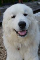 Pyrenäenberghund mit Papiere - Unikate nicht verwandte Deckung