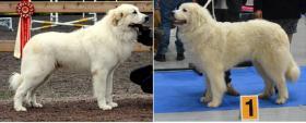 Foto 2 Pyrenäenberghund mit Papiere - Unikate nicht verwandte Deckung