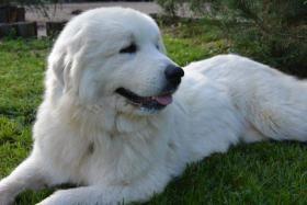 Foto 3 Pyrenäenberghund mit Papiere - Unikate nicht verwandte Deckung