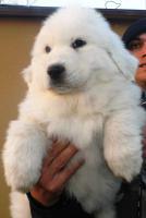 Foto 2 Pyrenäenberghund Welpen