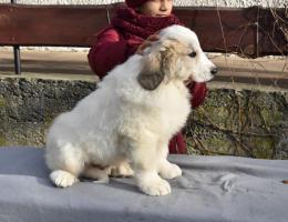 Foto 3 Pyrenäenberghund - Hündin mit FCI Papiere