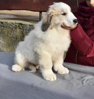 Foto 4 Pyrenäenberghund - Hündin mit FCI Papiere