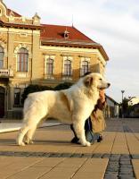 Foto 5 Pyrenäenberghund - Hündin mit FCI Papiere