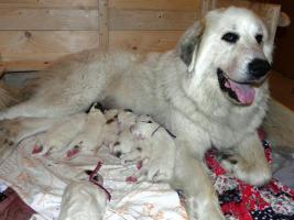 Foto 4 Pyrenäenberghund - schöne Welpen mit Stammbaum