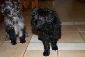 Foto 4 Pyrenäenschäferhunde