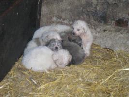 Pyrinäenberghund-Welpen