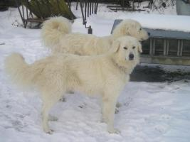 Foto 3 Pyrinäenberghund-Welpen