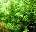 Quirlblättriges Perlenkraut, Aquarienpflanzen, Versand