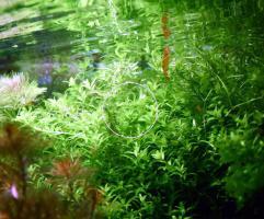 Foto 2 Quirlblättriges Perlenkraut, Aquarienpflanzen, Versand