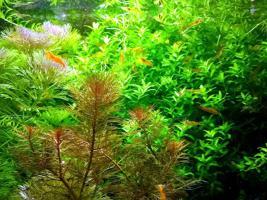 Foto 4 Quirlblättriges Perlenkraut, Aquarienpflanzen, Versand