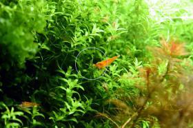 Foto 5 Quirlblättriges Perlenkraut, Aquarienpflanzen, Versand