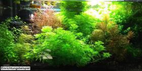 Foto 6 Quirlblättriges Perlenkraut, Aquarienpflanzen, Versand