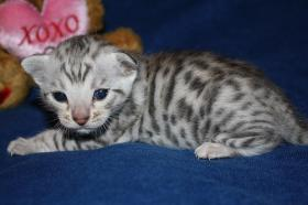 REINRASSIGE BENGAL KITTEN in Spotted/Rosetted mit TOP STAMMBAUM