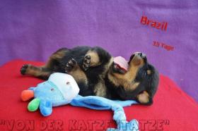 Rottweilerwelpen Von Der Katzentatze In Gallizien Von Privat
