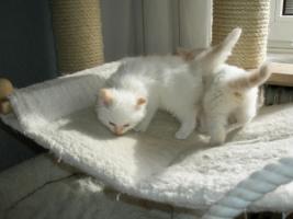 Foto 5 Ragdoll Kitten mit Papiere .