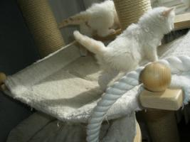 Foto 6 Ragdoll Kitten mit Papiere .