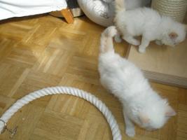 Foto 10 Ragdoll Kitten mit Papiere .
