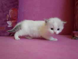 Foto 3 Ragdoll kitten mit Stammbaum