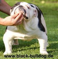 Raritäten! Seltene English Bulldog Welpen in schwarz