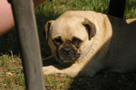 Foto 2 Rassmo Kinder, der Mopshund der ausschaut wie ein Boxer Baby