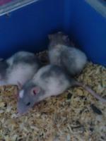 Foto 4 Ratten