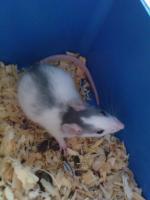 Foto 6 Ratten