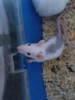 Foto 8 Ratten