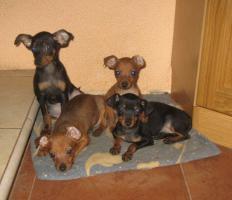 Rattlerwelpen und Mini Beagle abzugeben