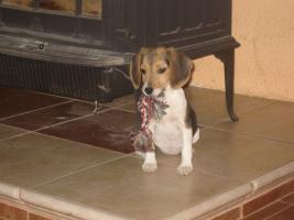Foto 4 Rattlerwelpen und Mini Beagle abzugeben