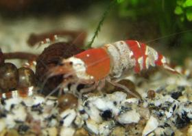 Foto 3 Red Bee(Crystal Red) Tigertooth K6/Grade S
