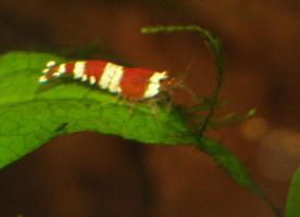 Foto 4 Red Bee(Crystal Red) Tigertooth K6/Grade S